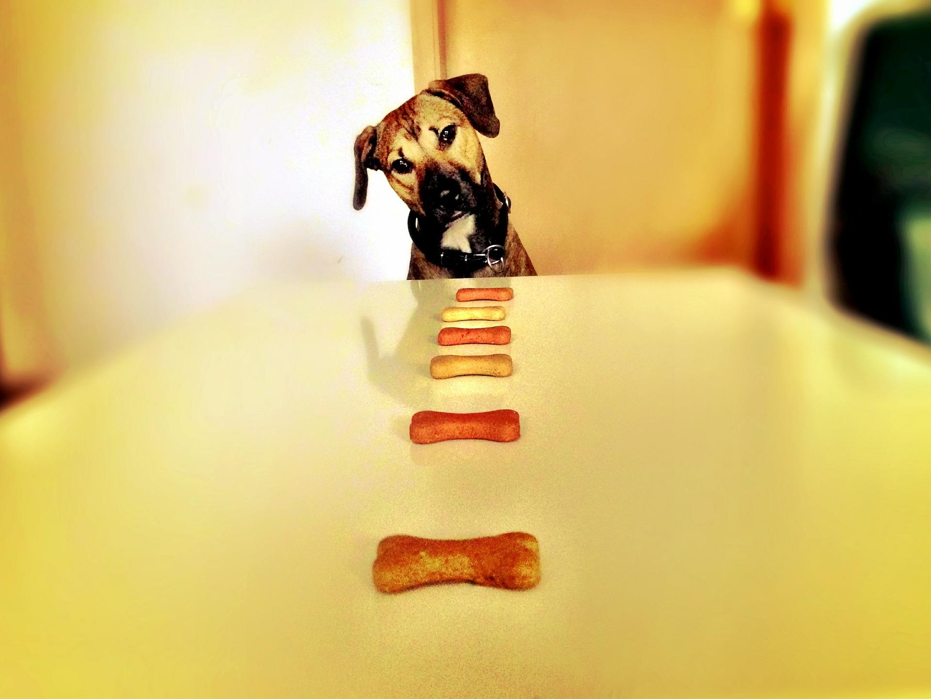 Dog looking at dog training treats on table