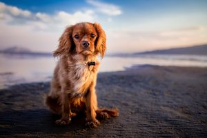 Teach a dog to pose for photos by training him to look at the camera when on the beach