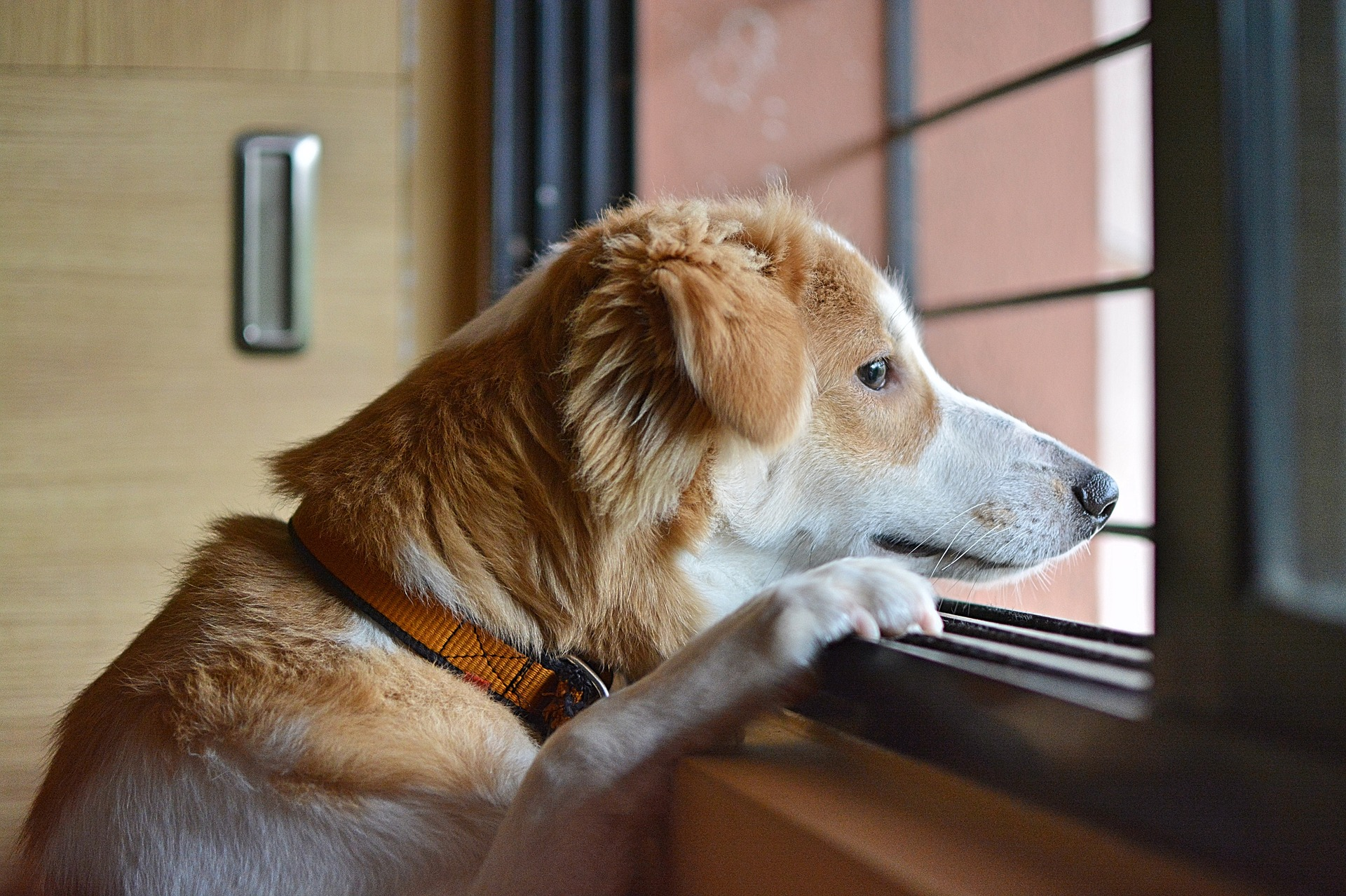 Dog showing signs of separation anxiety