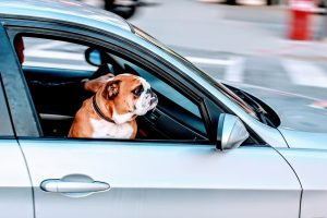 Pug happy in car because of training tips for traveling with your dog