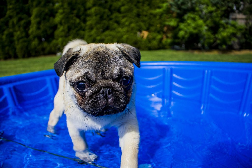 Pug in paddling pool in sensory garden for dogs