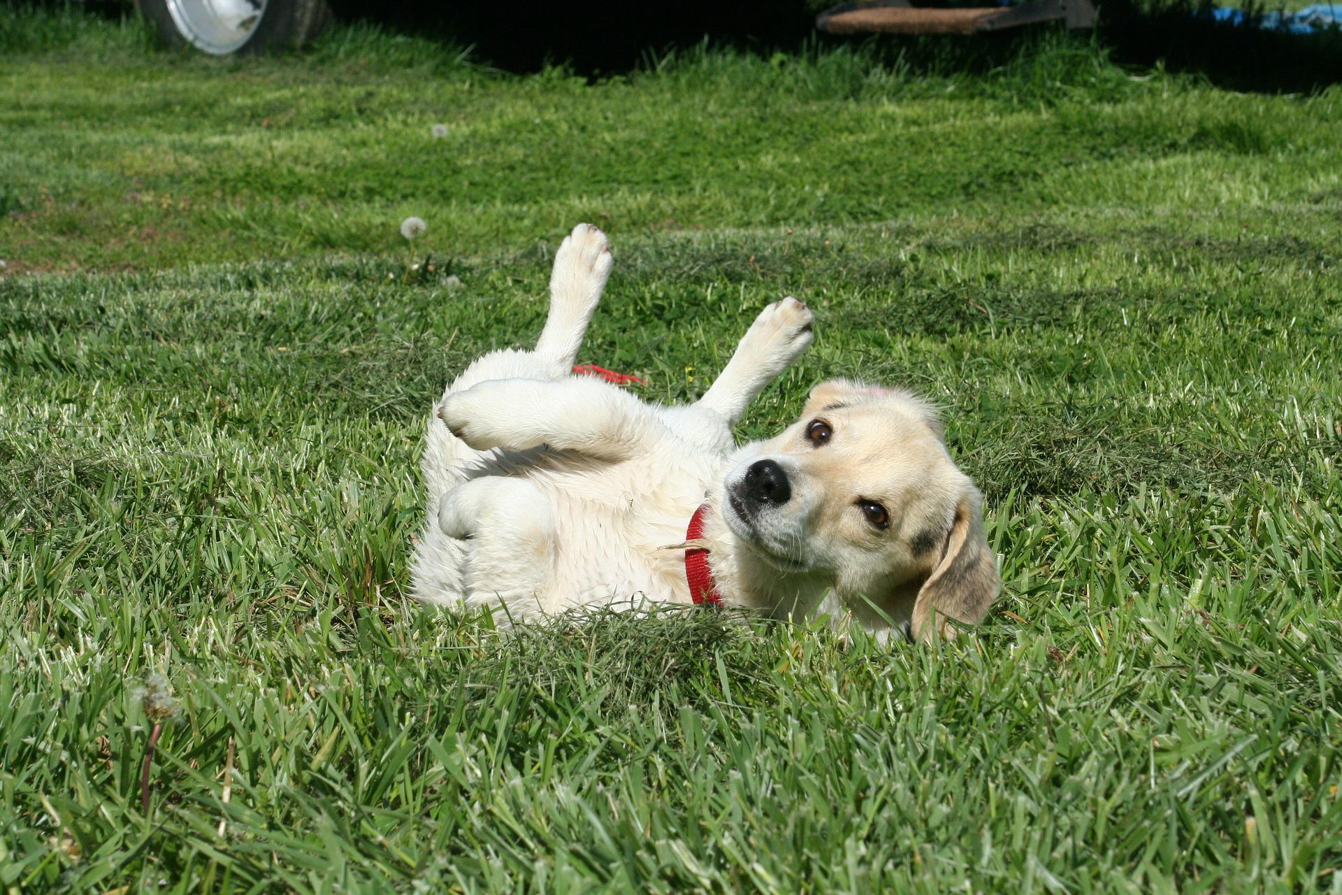 Dog itching on grass