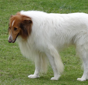 Collie (Rough-coated)