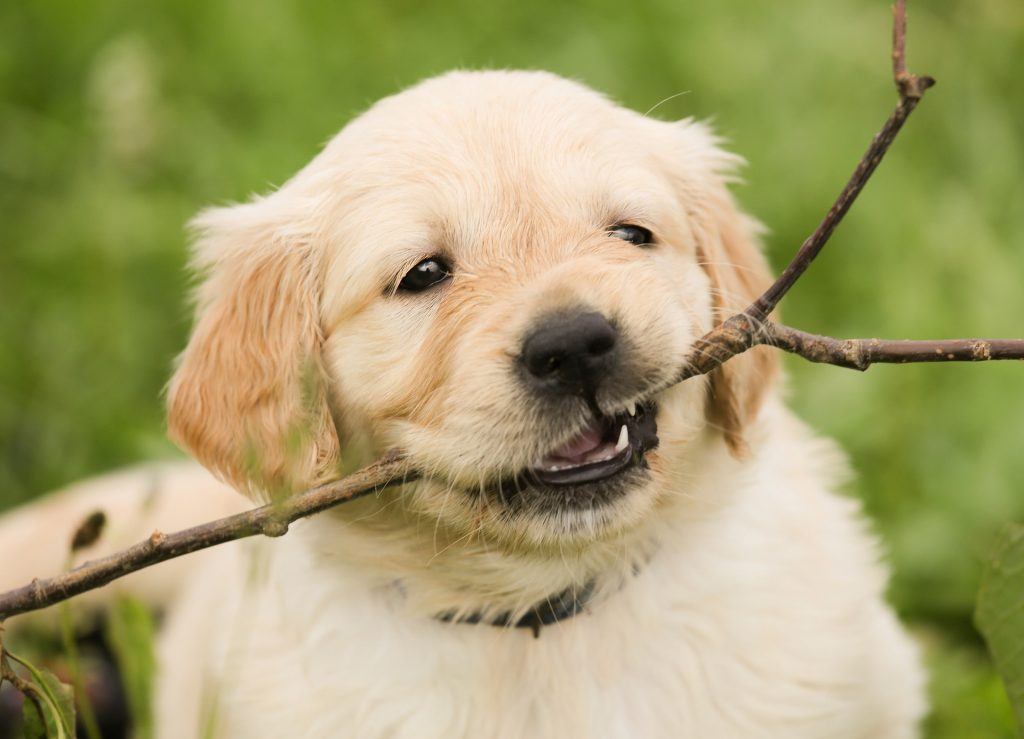 Puppy holding stick in mouth